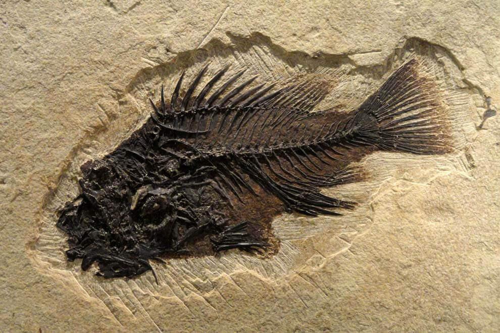Окаменелая рыба