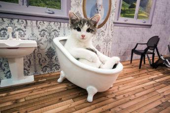 ТВ-Шоу котят Kattarshians