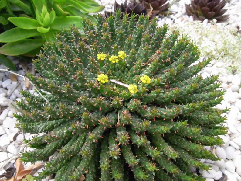Euphorbia сaput-medusae