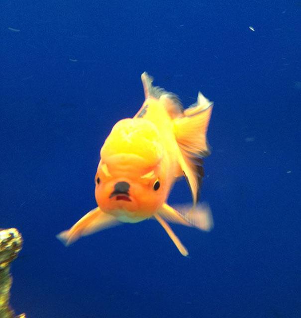 Рыбка, похожая на Гитлера