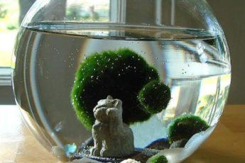 Удивительные комнатные растения, японский мох