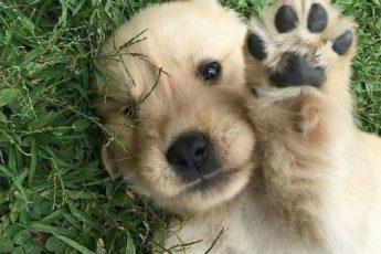 Золотистый ретривер - чудо среди собак