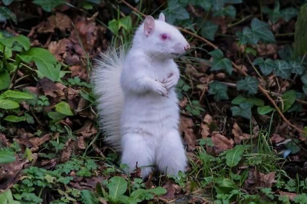 sfotografirovana-belka-albinos-1