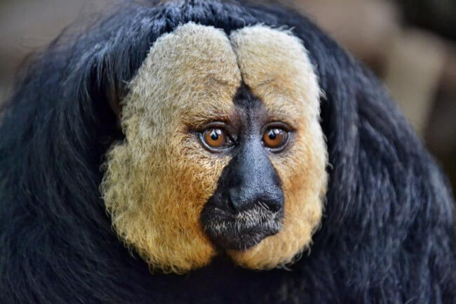 Примат Саки