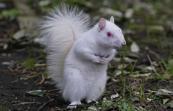 sfotografirovana-belka-albinos-3