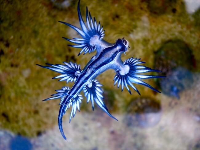 Голубой моллюск