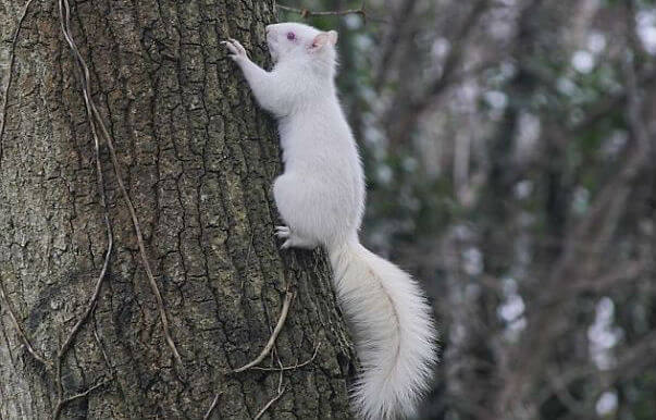sfotografirovana-belka-albinos-5