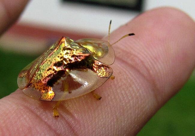 Золотистый жук