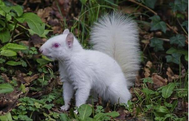 sfotografirovana-belka-albinos-4