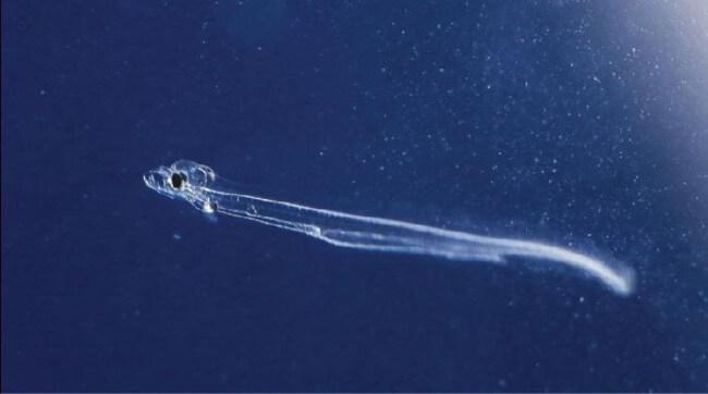 Личинка угря, одно из фантастических 13 существ