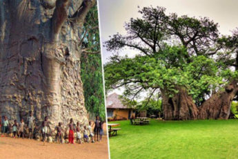 8 старейших деревьев в мире