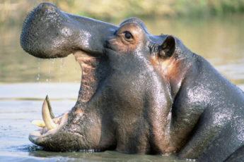 Бегемот - особенное животное