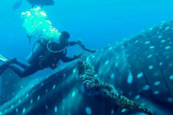 Китовая акула, освобождение от каната