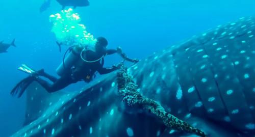 Огромная китовая акула подплыла к аквалангистам, явно ища помощи