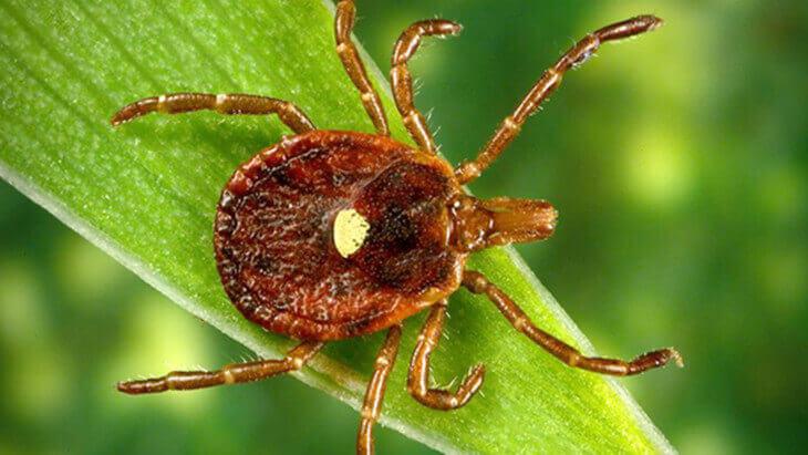 Клещ похож на паука