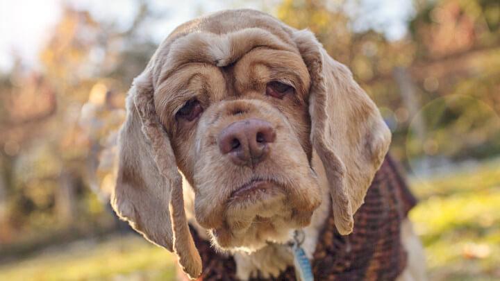 Постаревшая собака
