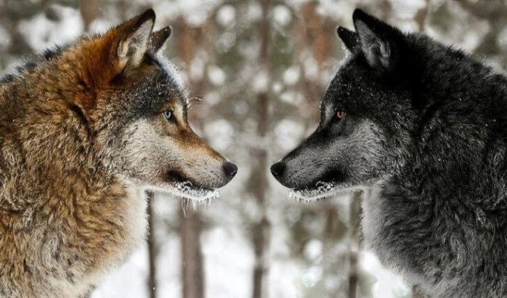 mudraya-pritcha-pro-dvuh-volkov-1