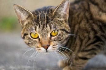 Почему нельзя смотреть кошке в глаза?