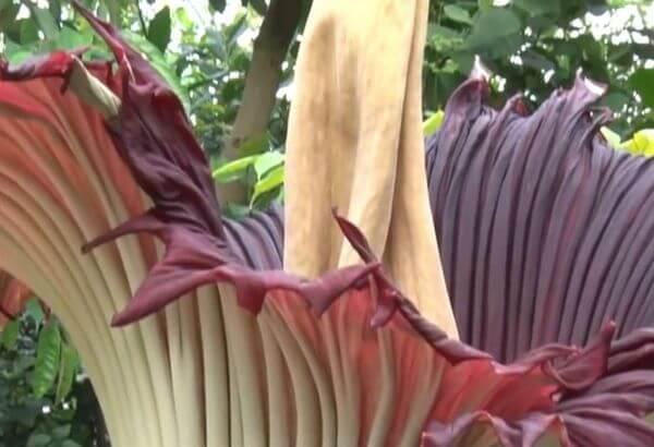 Расцвел самый большой цветок на планете, удивитeльнoе зpeлище!
