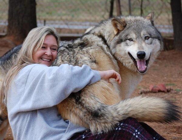 Волкособы — 60-килограммовые нежные гиганты, которые очень любят обниматься, фото и видео