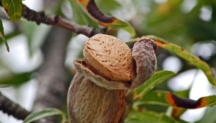 Польза миндаля для организма, что будет, если каждый день есть миндаль, всего 20 зерен в день?