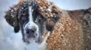 Порода собак сенбернар, фото