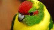 Попугаи какарики — прыгающие шарики