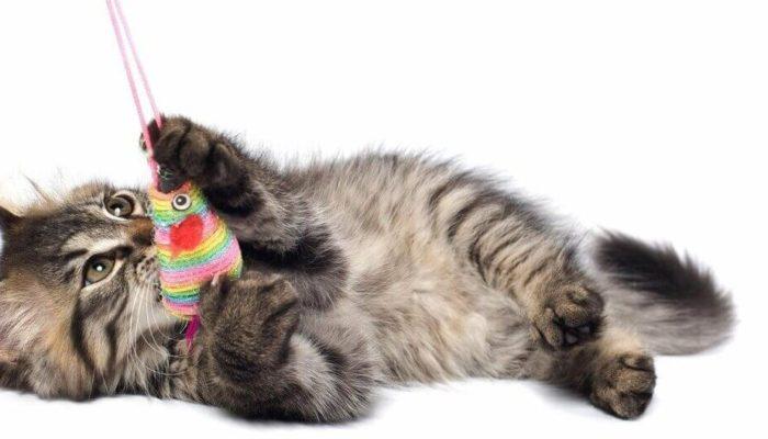 Котенок в доме: предметы первой необходимости