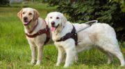 Собака поводырь — глаза незрячего человека